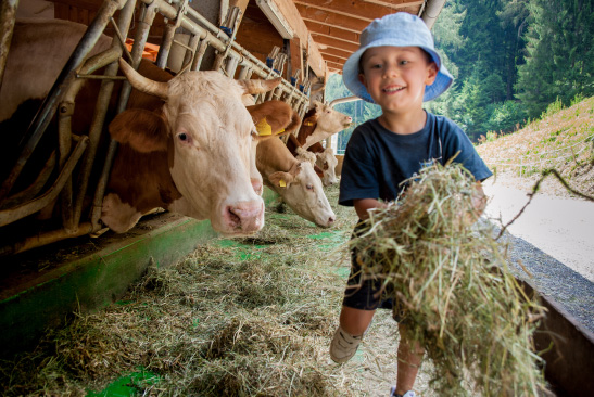 A young boy feeding hay to a cow